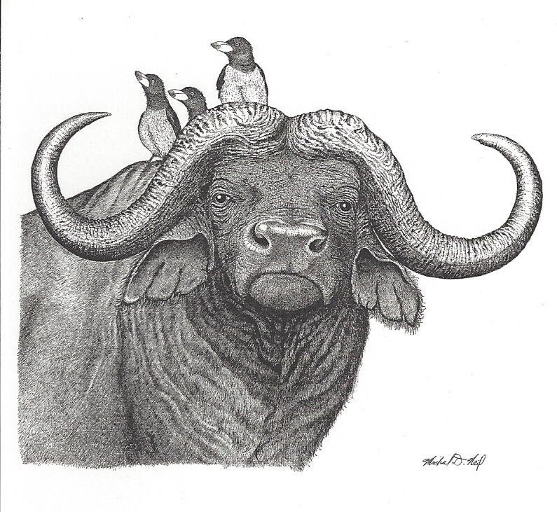 Cape Buffalo with Ox Peckers